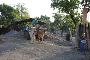 1 of the many ox carts that you see on major high ways